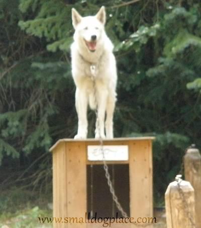 Alaskan Sled Dog relaxing on his dog house.