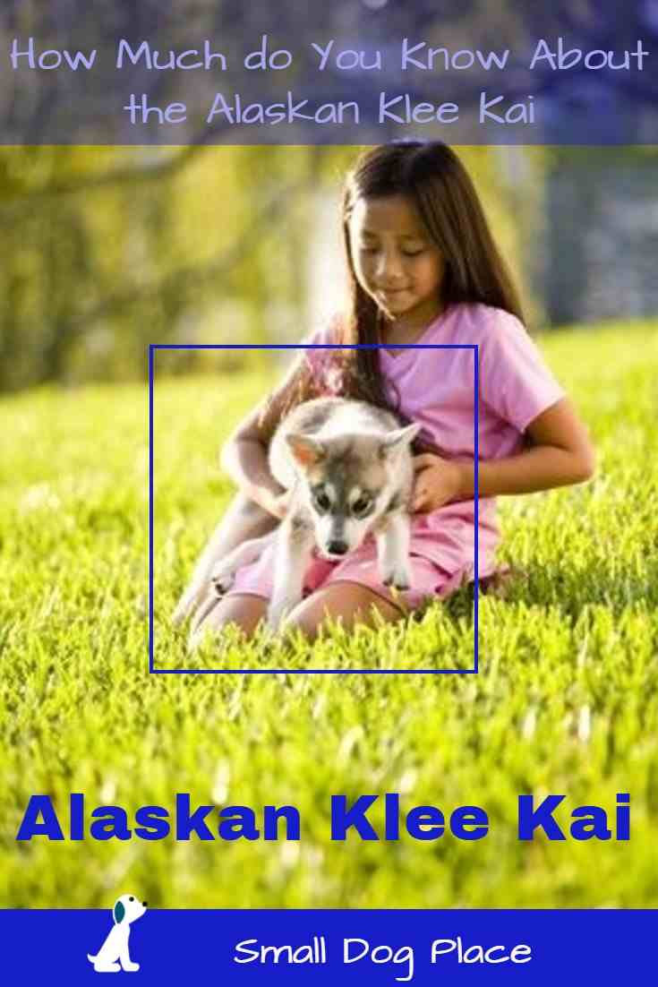 Alaskan Klee Kai A Husky In A Small Package