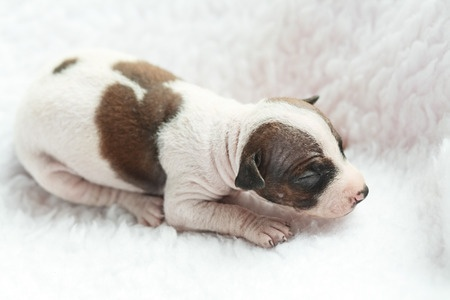 American Hairless Terrier Newborn Puppy