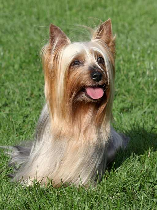 silky terrier temperament silky terrier temperament health history and more 9512