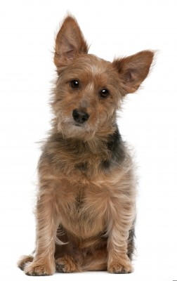 Australian Terrier Pictured on https://www.smalldogplace.com