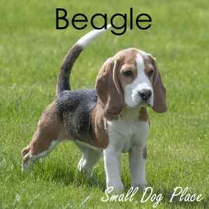 Beagle:  Number 6 in Popularity