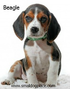 Beagles:  Small Breed Dogs that are good with children.