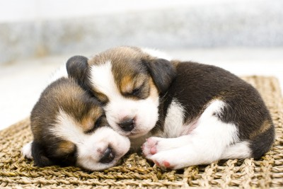 Two little puppy dogs are asleep on a mat.