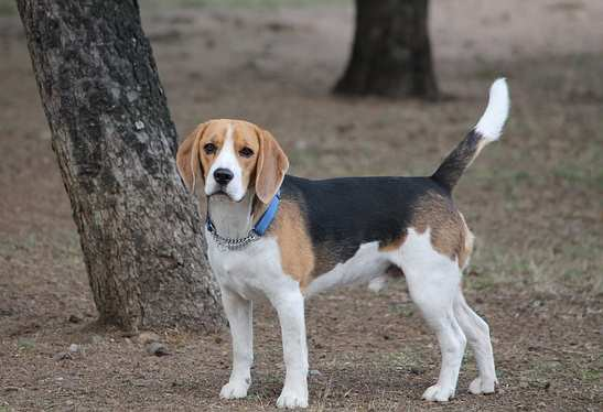 The lovable beagle is also one of the healthiest breeds.