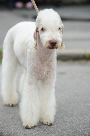 Bedlington Terrier Small Dog Breed Info