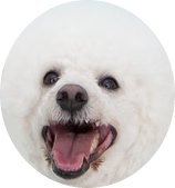 Quick Facts about the Bichon Frise Dog