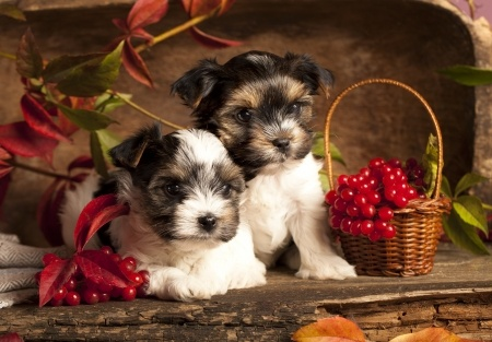 Biewer Terrier Breed Information | Small Dog Place