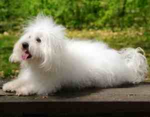 Bolognese:  Playful, Affectionate, Quite, Related to the Bichon Frise;  Friendly to all