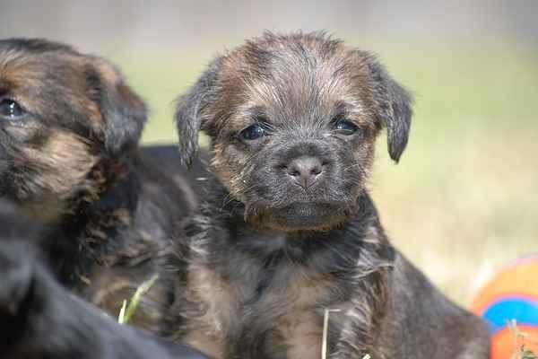 Border Terrier - Dogs 101 | 400x600