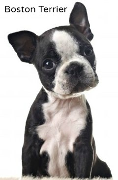 Boston Terriers:  A good choice for families with children.