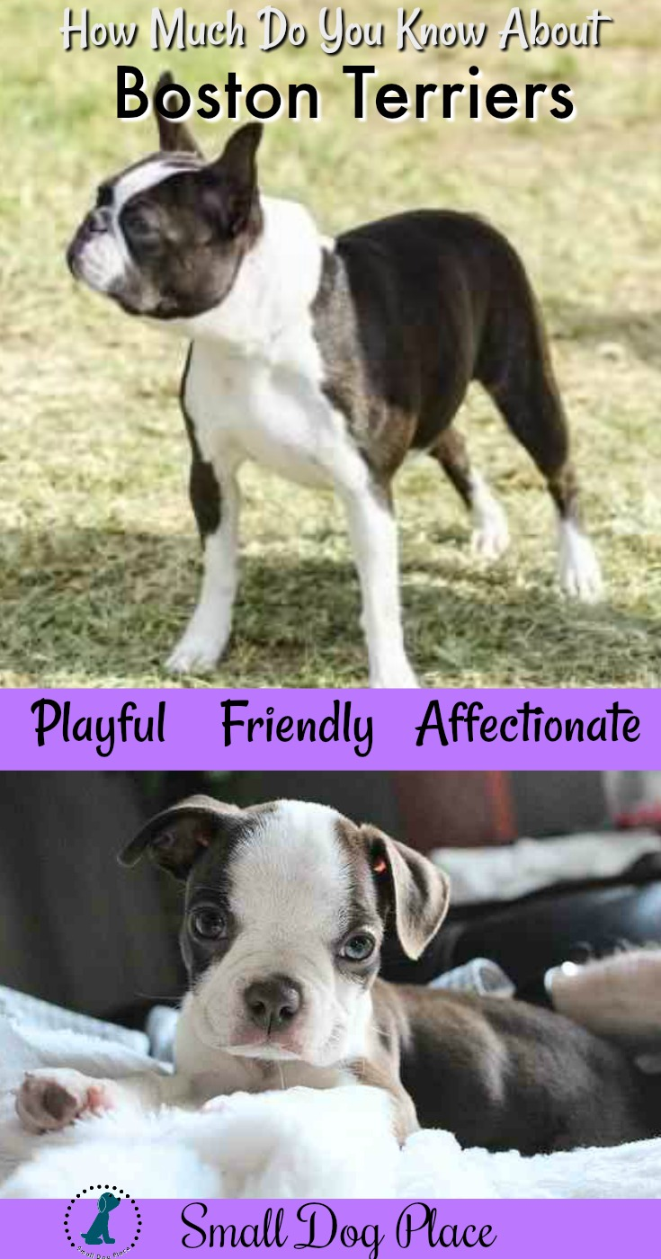 The Boston Terrier, Playful, Friendly and Affectionate.  Learn more about the breed at Small Dog Place