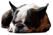 Sleepy Boston Terrier