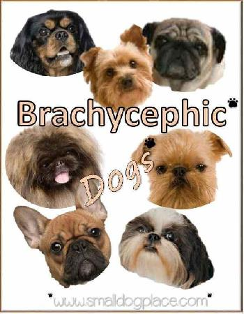Variety of brachcephalic small breed dogs