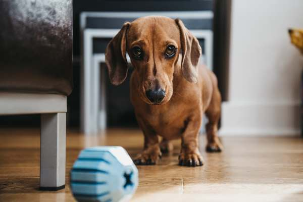 You can teach your dog to find a treat or a toy in a hidden place.