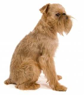 Rough Coated Brussels Griffon