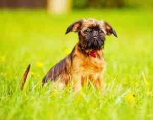 Brussels Griffon:  Lively, sensitive, Good with other dogs,  Moderate Grooming Requirements