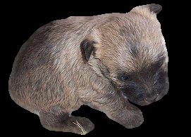 Newborn Cairn Terrier