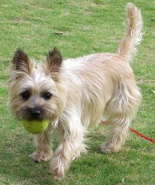Playful Cairn Terrier