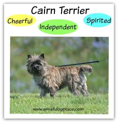 Cairn Terrier:  Cheerful, Independent, Spirited