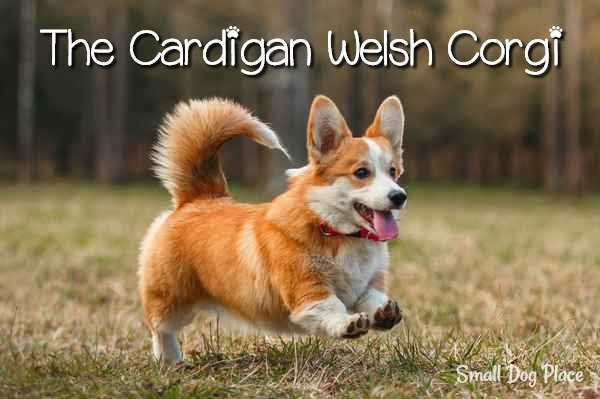 Cardigan Welsh Corgi Complete Dog