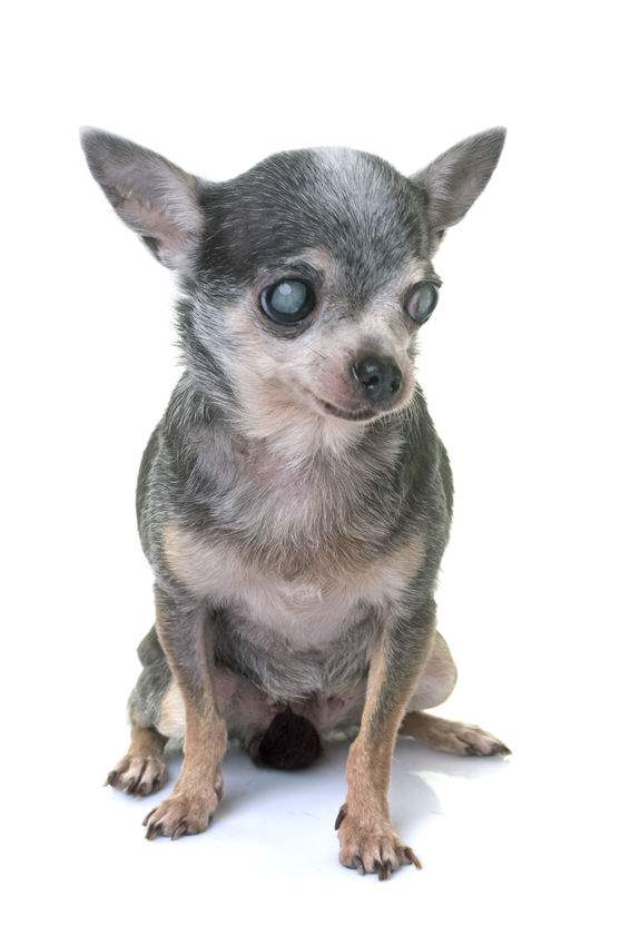 A Small Chihuahua with cataracts in both eyes.