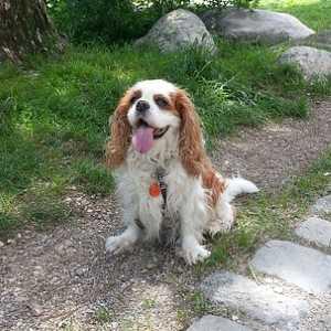 Cavalier King Charles Spaniel Dog Breed