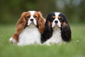 Cavalier King Charles Spaniel:  Friendly, sweet, gentle,  Moderate need for exercise;  Ease of Training is Average