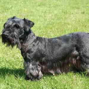 Black Cesky Terrier Link to Breed Profile Page