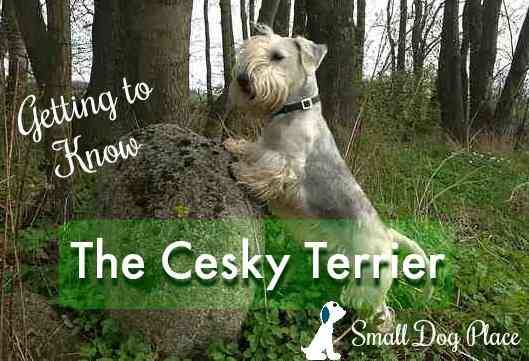 The Cesky Terrier