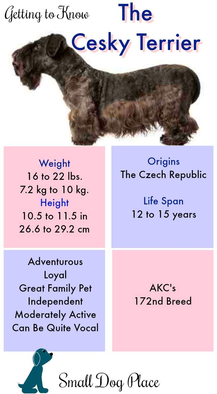 Cesky Terrier Dog Breed Profile Infographic at Small Dog Place