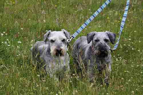 Two young Cesky Terriers