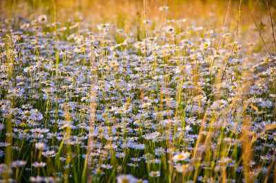 Chamomile Oil, Essential Oils for Dogs