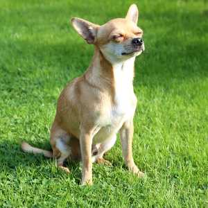 A Short-haired Chihuahua is sitting on the grass