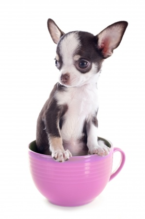 Chihuahua sitting in a teacup