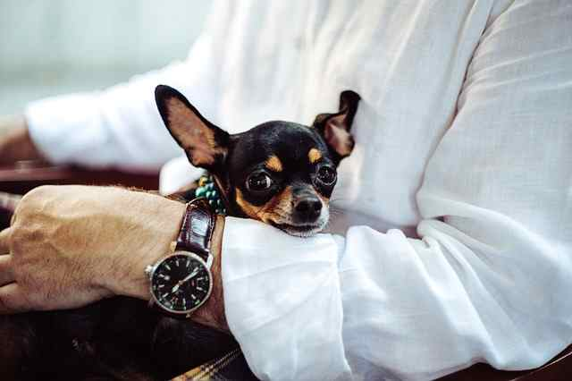 A Chihuahua Can be a good choice for therapy work