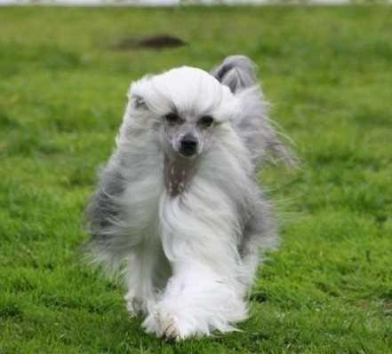 Chinese Crested Powderpuff Variety Small Breed Dogs