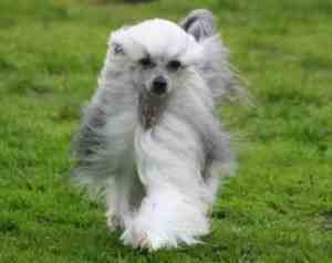Chinese Crested:  Playful, Happy, Good with other dogs and strangers; Low to moderate exercise demands