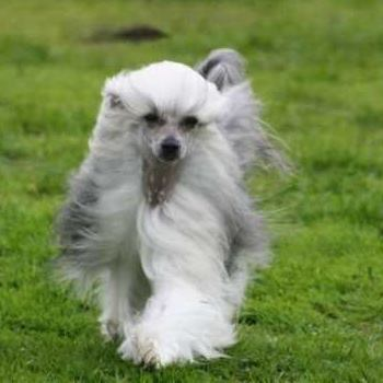 Chinese Crested Powder Puff Running Towards Camera