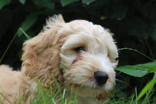 Cute Designer Breed Dogs