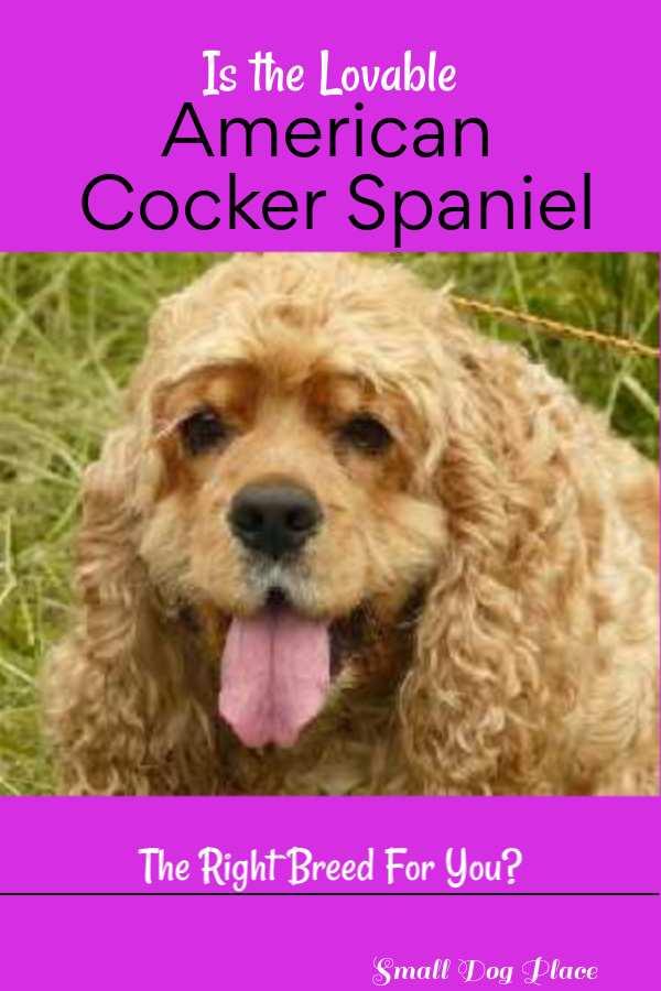 American Cocker Spaniel Pinnable Image