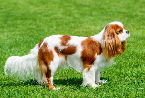 Cocker Spaniel Your New Best Friend