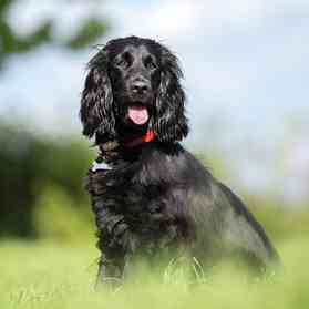 Black Cocker Spaniel link to breed profile page
