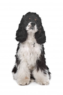 Cocker Spaniel: Will This Breed Be Your New Best Friend?