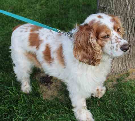 Young Red and White Cocker Spaniel
