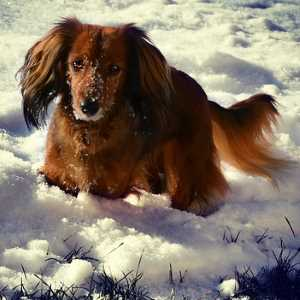 Long Haired Dachshund in the Snow