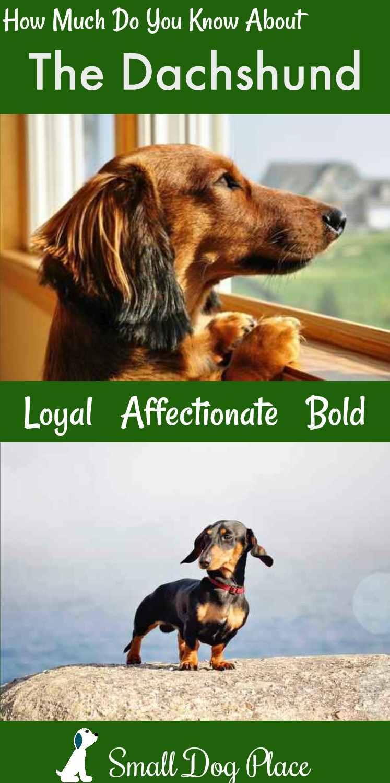 Dachshund Dog Breed Profile