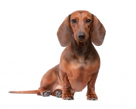 Dachshund Breed Informaion
