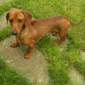 Smooth coated Dachshund standing on a stone path