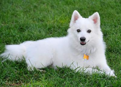 This is an American Eskimo Dog Uploaded by Small Dog Place
